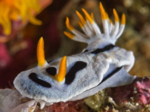 Chromodoris danae -close up- by Alex Varani 